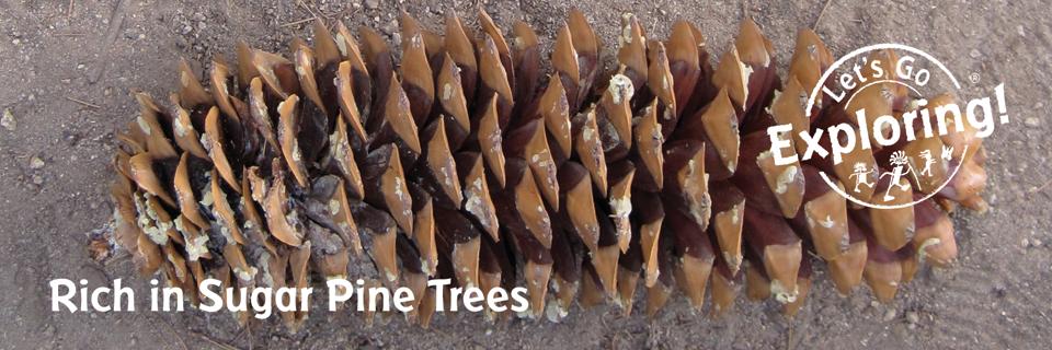 Rich in Sugar Pine Trees