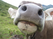 A friendly cow