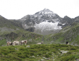 Mountain cows and horses